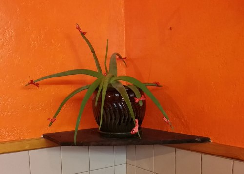 Cactus with Bows at Los Barrilitos